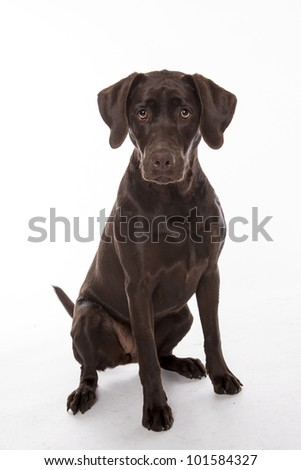 Chocolate Lab (Labrador Retriever) - stock photo