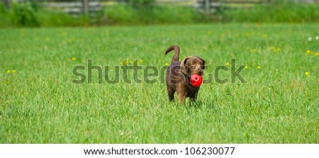 Chocolate lab puppy playing in her yard in the summer. - stock photo