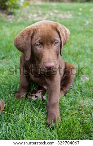 Chocolate Lab puppy sitting in the grass - stock photo