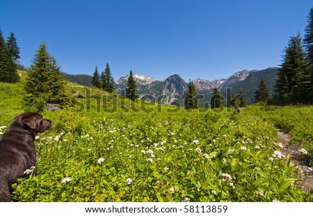 Chocolate Lab standing in wildflower field at Snoqualmie pass on a beautiful sunny day. - stock photo