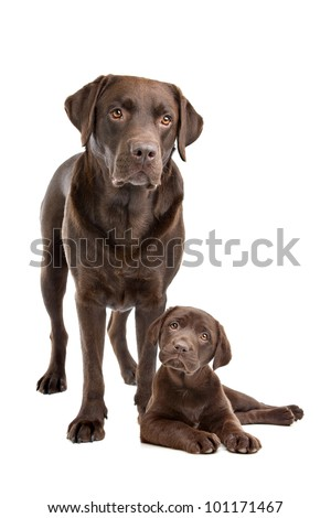 Chocolate Labrador adult and puppy in front of a white background - stock photo