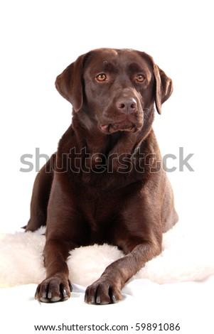 Chocolate  labrador (lab) - stock photo