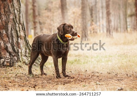 Chocolate labrador playing with toy in the forest - stock photo