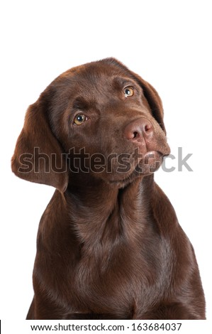 chocolate labrador puppy - stock photo
