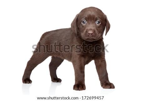 Chocolate Labrador puppy on white background - stock photo