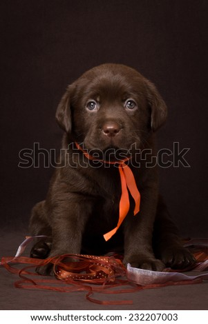 Chocolate labrador puppy sitting on a brown background. - stock photo