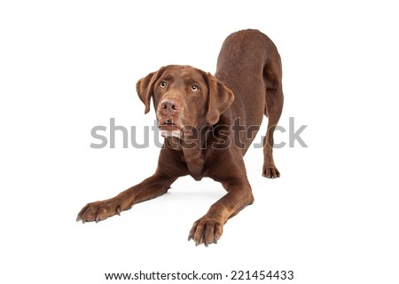Chocolate labrador retreiver dog in downward facing dog position looking up at handler - stock photo