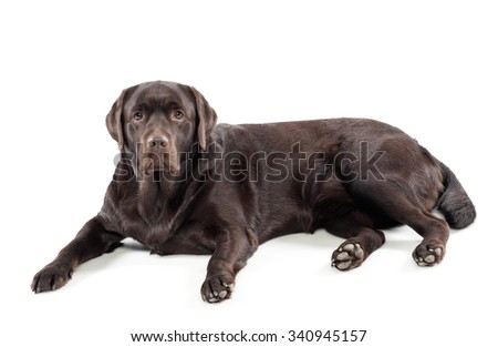 Chocolate labrador retriever lying on a white background looking at the camera with an alert curious expression, full length side view - stock photo