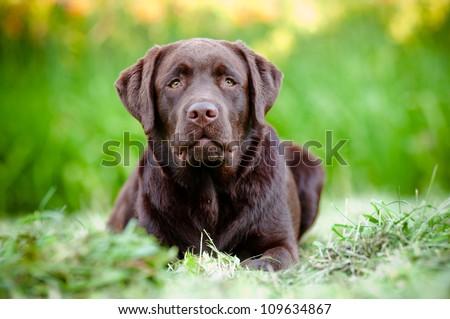 chocolate labrador retriever puppy - stock photo