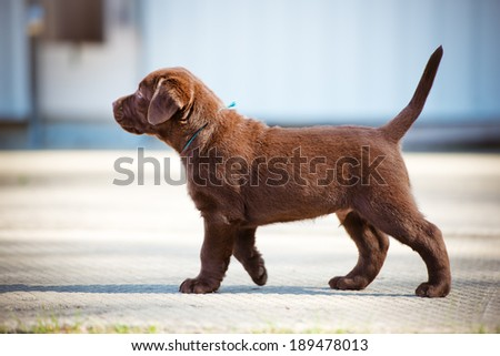 chocolate labrador retriever puppy - stock photo