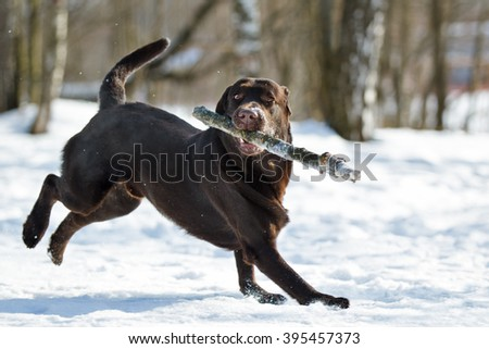 Chocolate purebred labrador retriever dog on the snow in winter outdoor having fun playing running with stick - stock photo