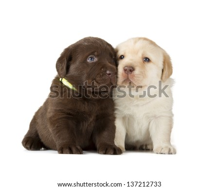 Chocolate & Yellow Labrador Retriever Puppies (4 week old, isolated on white background) - stock photo