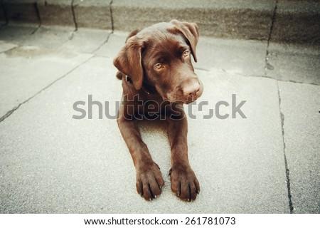 Chocolate young labrador dog lying. Image toned. - stock photo