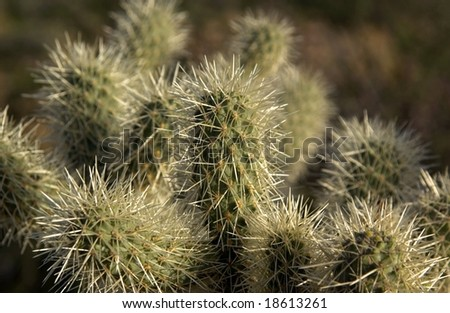 Cholla cactus - stock photo