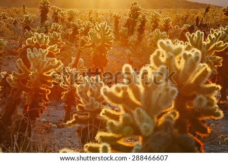 cholla cactus garden from Joshua Tree national park with a warm morning sunlight - stock photo