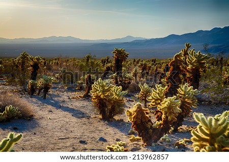 Cholla Cactus Garden in the early morning light. Joshua Tree National Park, California - stock photo