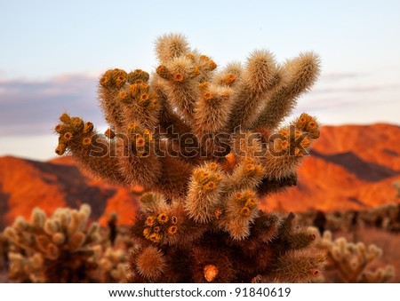 Cholla Cactus Garden Sunset Mojave Desert Joshua Tree National Park California  Teddy bear Cholla Cactus Cylindropuntia bigelovii Named for a teddy bear because from distance looks furry. - stock photo