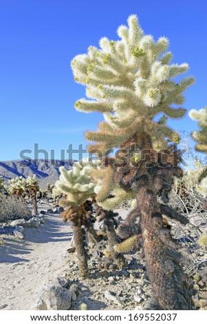 Cholla Cactus in Joshua Tree National Park, California, USA - stock photo