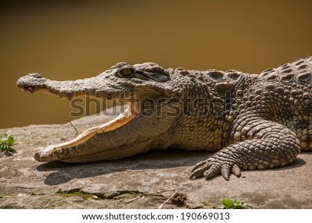 Chongqing crocodile crocodile pool center  - stock photo