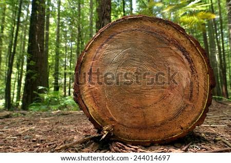 Chopped tree log lies on the ground in Redwoods Whakarewarewa Forest in Rotorua, New Zealand. - stock photo