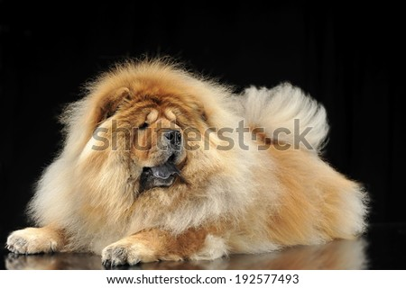chow chow lying on the reflection floor - stock photo