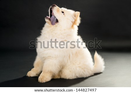 Chow chow puppy on a black background - stock photo