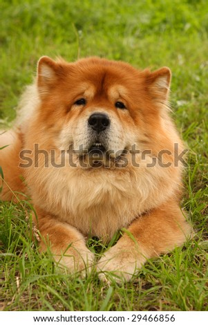 Chow puppy - stock photo