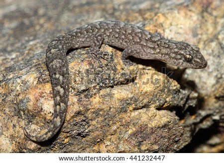 Christinus marmoratus is a species of Gekkonidae native to southern mainland of Australia, from Victoria to Western Australia. The species is well adapted to a variety of habitats. - stock photo