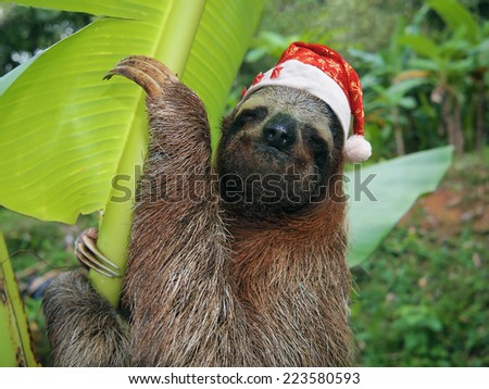 Christmas animal, portrait of a sloth wearing a santa hat, Costa Rica - stock photo
