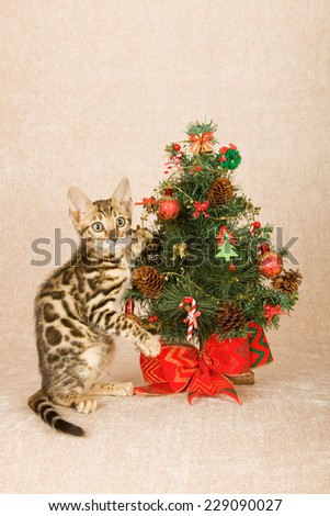 Christmas Bengal cat kitten with Christmas tree on beige background  - stock photo