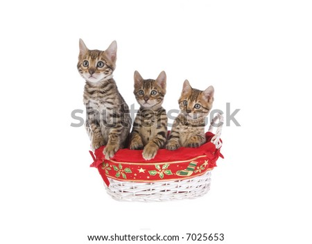 Christmas Bengal kittens in basket isolated on white background - stock photo