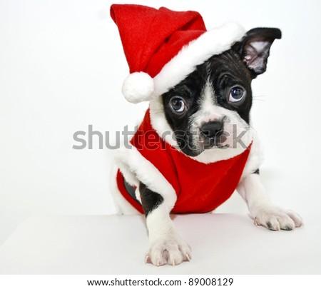 Christmas Boston Terrier on a white background. - stock photo