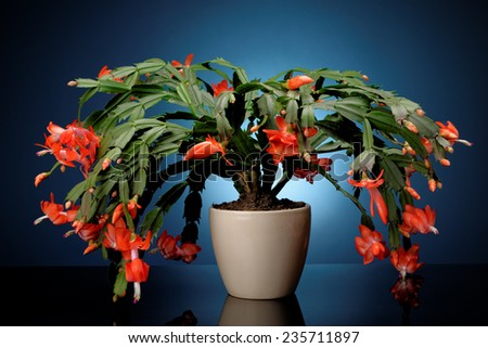 Christmas cactus on a blue background. Schlumbergera. - stock photo