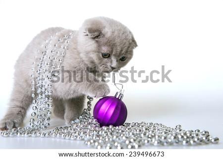 Christmas cat. Gray kitten with Christmas beads on a white background. Gray kitten Scottish Fold. Christmas kitten with christmas decorations on a white background. - stock photo