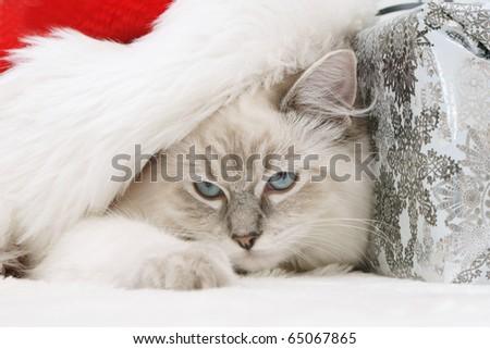 christmas cat kitten pet - stock photo