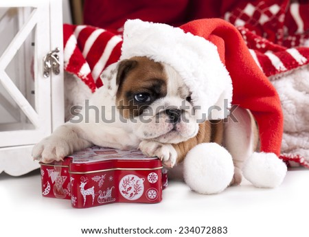 christmas dog - english bulldog wearing santa - stock photo