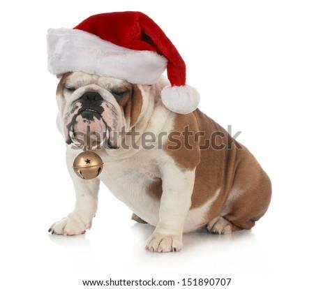 christmas dog - english bulldog wearing santa hat holding christmas bell on white background - stock photo
