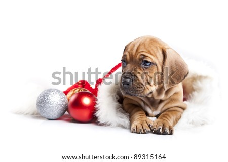 Christmas Dog, young gift - stock photo