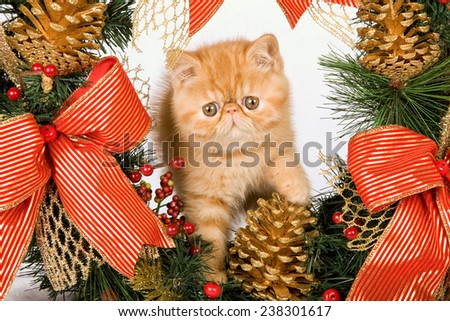 Christmas Exotic kitten sitting inside Christmas wreath on white fake faux fur background - stock photo