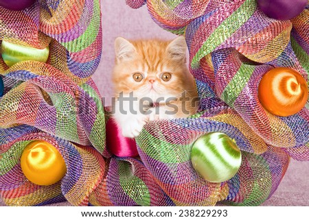 Christmas Exotic kitten sitting inside colourful rainbow Christmas wreath   - stock photo