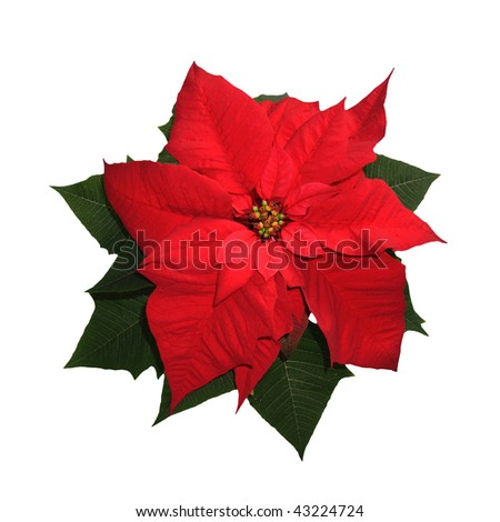 Christmas flower - Euphorbia pulcherima - isolated on the white background - stock photo