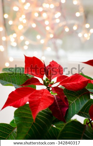 Christmas flower poinsettia indoor on defocused lights background space for text - stock photo