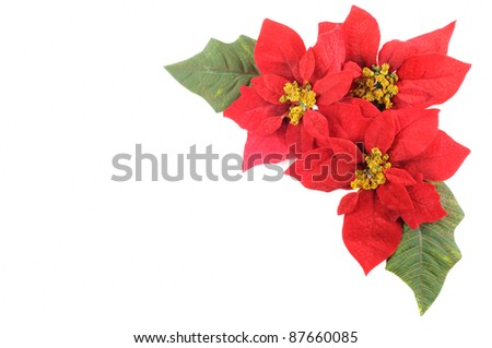 Christmas flower poinsettia with leafs on a white background - stock photo