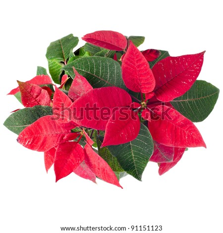 christmas flower - Red poinsettia isolated on a white background - stock photo