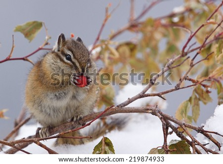 Christmas Holiday Wildlife a chipmunk perches amongst the snow covered branches of a Winter Berry bush and feasts upon the festive red berries  - stock photo