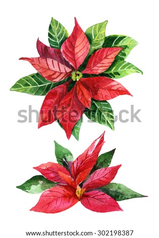 Christmas poinsettia  isolated on white background, watercolor flower - stock photo