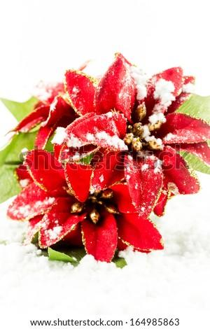 Christmas poinsettia with snow - stock photo
