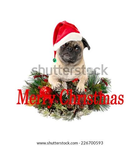 Christmas Pug Merry Christmas on a White Background - stock photo