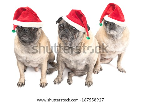 Christmas Pugs with Santa Hats Isolated on a White Background - stock photo