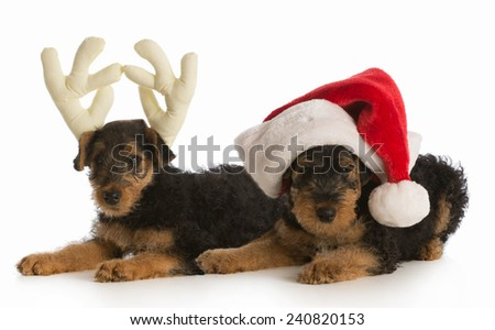 christmas puppies - airedale terrier puppies dressed up like santa and rudolph on white background - stock photo